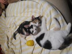 Dvě čtyřměsíční kočky