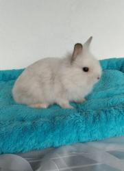 Zakrslý králíček LO, Lvíček i krátkosrstý