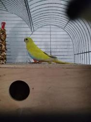 Neoféma tyrkysová,papoušek zpěvavý,holoubek diaman (1602168956/5)