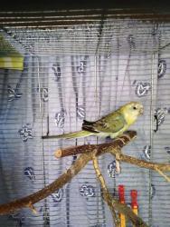 Neoféma tyrkysová,papoušek zpěvavý,holoubek diaman (1602168957/5)