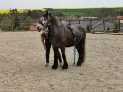 Fell pony (1602315868/5)