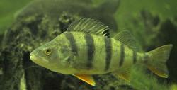 Nástražní rybičky (1602482314/3)