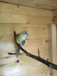 Neoféma tyrkysová,papoušek zpěvavý,holoubek diaman (1603552375/5)