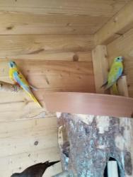 Neoféma tyrkysová,papoušek zpěvavý,holoubek diaman (1603552378/5)