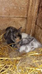 zakrslý králík (1603714366/5)