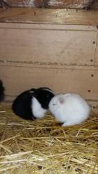 zakrslý králík (1603714367/5)