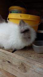 zakrslý králík (1603714368/5)