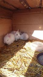 zakrslý králík (1603714369/5)