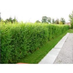Kouzelný (zázračný) živý plot - Jilm sibiřský