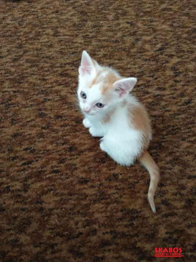 Prodám 2 bílo-mourovatá koťata (1/4)