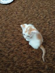 Prodám 2 bílo-mourovatá koťata (1620795003/4)