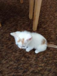 Prodám 2 bílo-mourovatá koťata (1620795004/4)