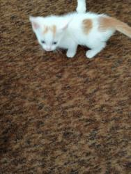 Prodám 2 bílo-mourovatá koťata (1620795005/4)