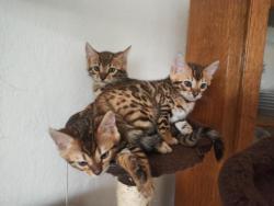 Bengálská koťátka s PP (1622056949/4)