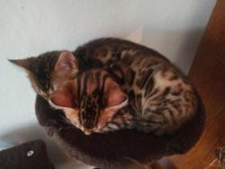 Bengálská koťátka s PP (1622056950/4)