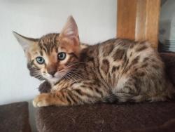 Bengálská koťátka s PP (1622056952/4)