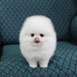 Úžasný Pomeranian hledá nový domov. Milá mami (1622111097/3)
