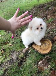 Úžasný Pomeranian hledá nový domov. Milá mami (1622111099/3)