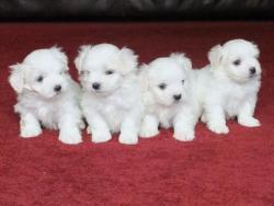Maltští psi a štěňata k dispozici