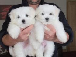 Maltští psi a štěňata k dispozici (1622111766/3)
