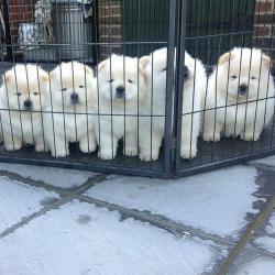 Chow Chow Babies jsou k dispozici