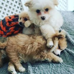 Rodokmen Pomeranian Puppies