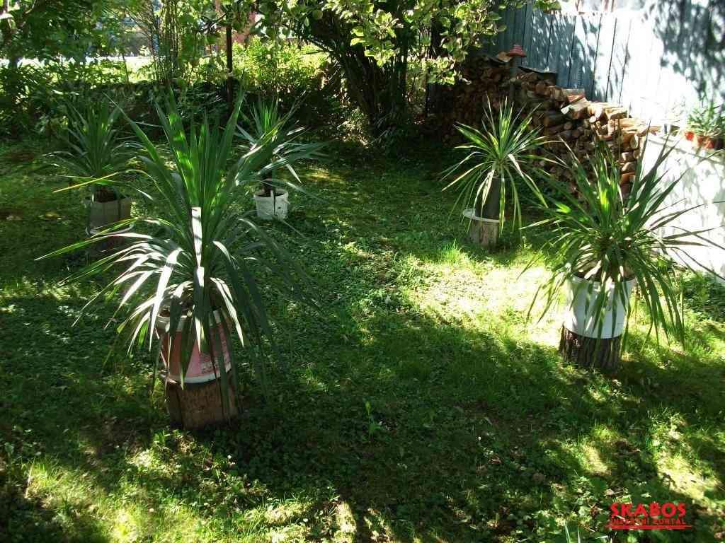 Palma yucca gloriosa + malé palmičky (1/2)