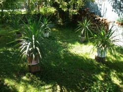 Palma yucca gloriosa + malé palmičky