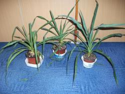 Palma yucca gloriosa + malé palmičky (1626040695/2)