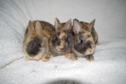 zakrslý králíček Teddy s PP (1626369426/3)