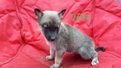 Prodáváme výjimečná štěňata sibiřského husky (1627546431/5)