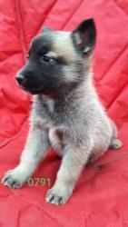 Prodáváme výjimečná štěňata sibiřského husky (1627546433/5)