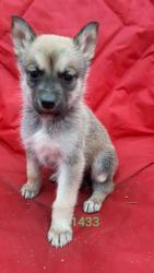 Prodáváme výjimečná štěňata sibiřského husky (1627546434/5)