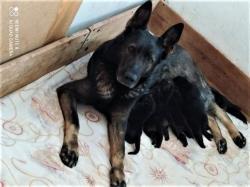 Německý ovčák, pes 2 měsíce s PP ihned k odběru (1627675129/5)