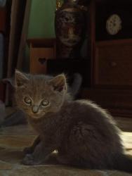Britská modrá kočička (1631161796/4)