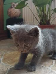 Britská modrá kočička (1631161798/4)