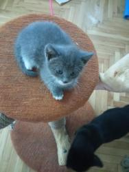 Britská modrá koťátka (1632171142/5)