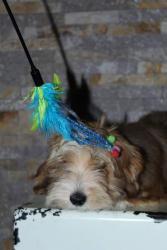 Havanský bišonek štěně (1632402307/5)