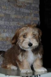 Havanský bišonek štěně (1632402308/5)