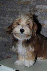 Havanský bišonek štěně (1632402309/5)