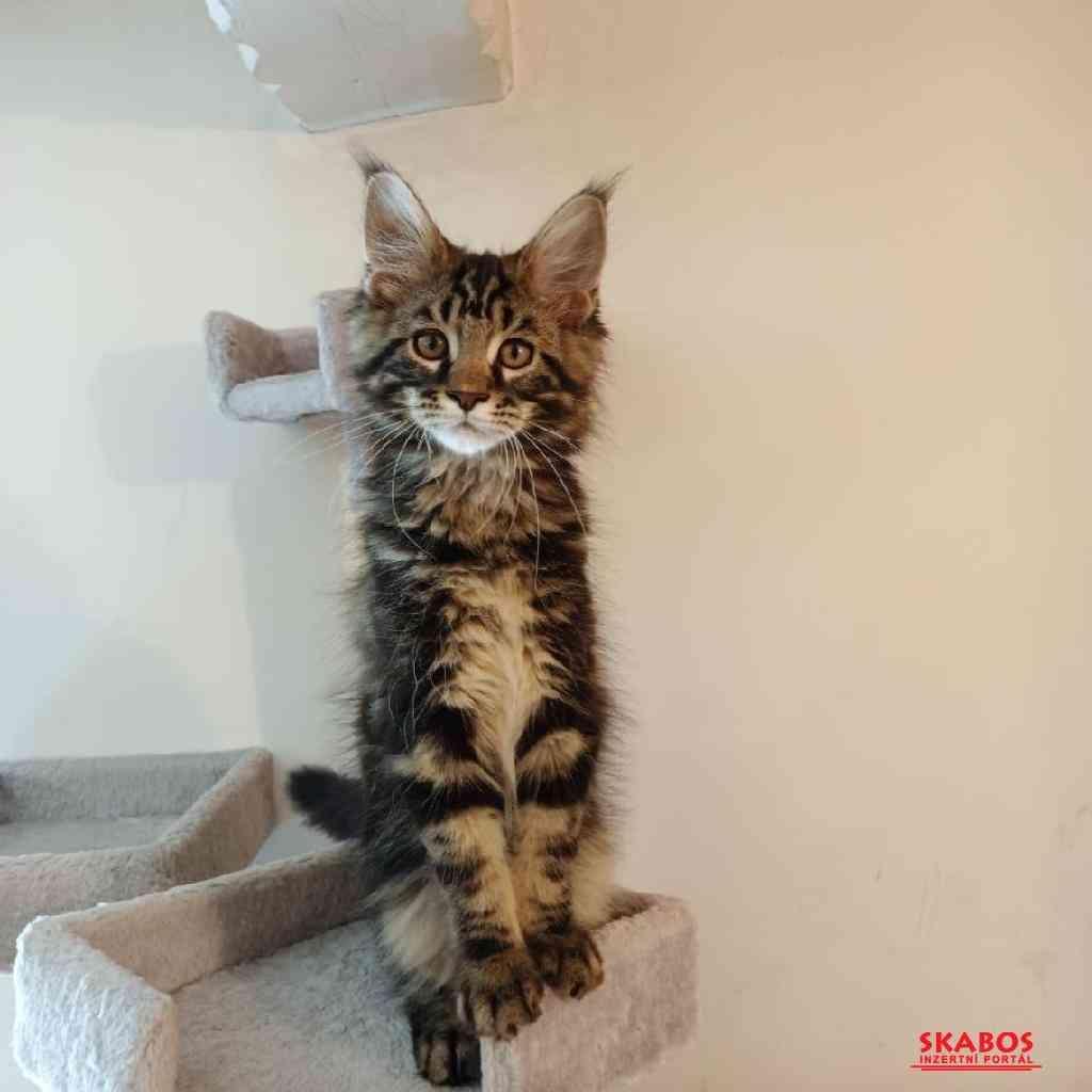 Prodám luxusní koťata Mainské mývalí kočky s PP (1/5)
