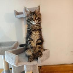 Prodám luxusní koťata Mainské mývalí kočky s PP (1633371368/5)