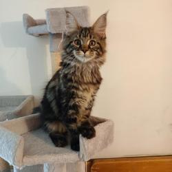 Prodám luxusní koťata Mainské mývalí kočky s PP (1633371369/5)