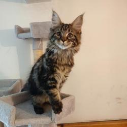 Prodám luxusní koťata Mainské mývalí kočky s PP (1633371370/5)