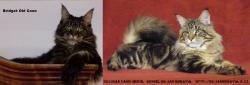 Prodám luxusní koťata Mainské mývalí kočky s PP (1633371371/5)