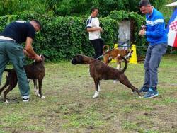 Německý boxer štěňata (1633462212/5)