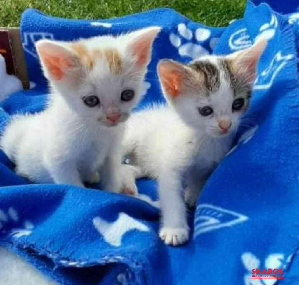 Prodám 2 bílo-mourovatá koťata (1/1)