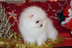 Šálek čaje Pomeranian Puppies