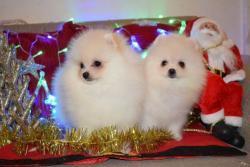 Šálek čaje Pomeranian Puppies (1633871776/3)