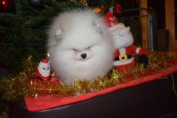 Šálek čaje Pomeranian Puppies (1633871777/3)